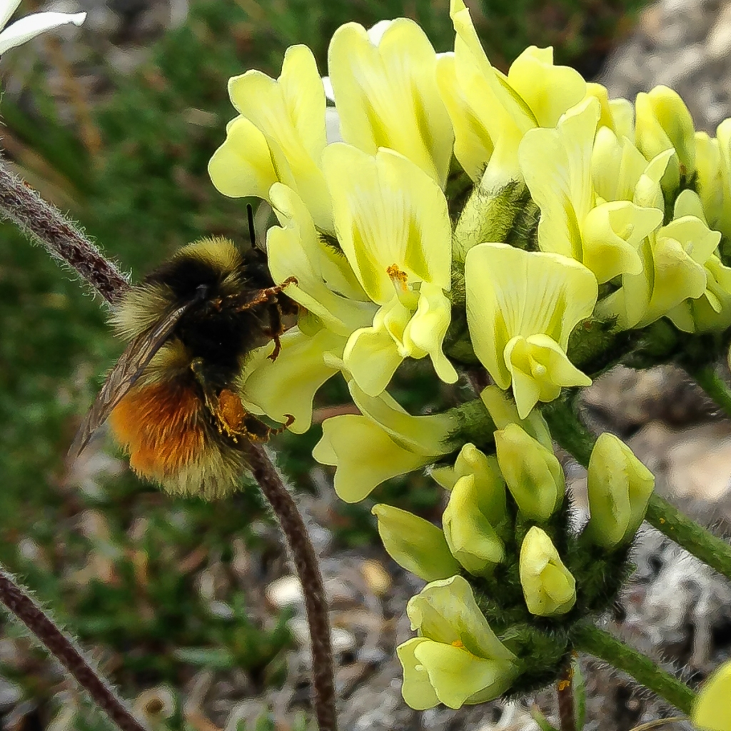 a forest bumblebee (Bombus sylvicola) on Inuit carrot (Oxytropis maydelliana).